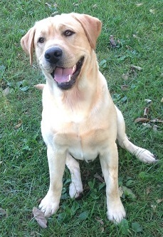 Sullivan's Labradors is a quality breeder of AKC Yellow Labrador